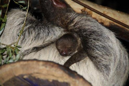 new sloth born in Switzerland, photo courtesy of Papiliorama Foundation