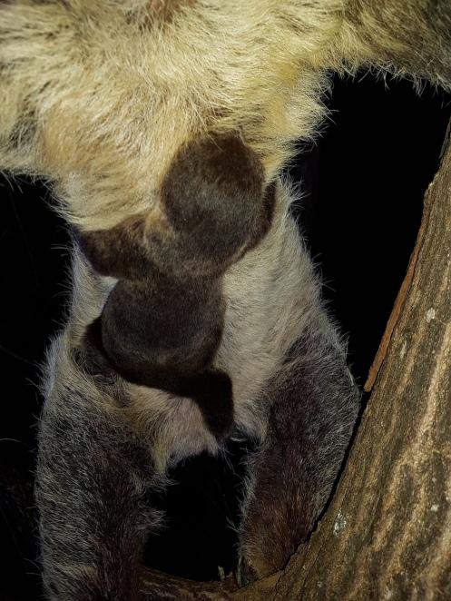 new sloth born in Switzerland, photo courtesy of Papiliorama Foundation