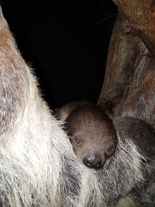 Sloth born in Fribourg, photo courtesy of Papiliorama Foundation